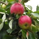 Яблоня летняя Мельба
