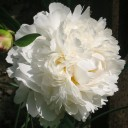 Пион молочноцветковый Боул оф Крем