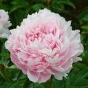 Пион молочноцветковый Пиллоу Ток