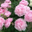 Пион молочноцветковый Сара Бернар