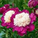 Пион молочноцветковый Уайт Кэп
