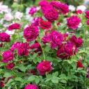 Роза английская Дарси Басселл