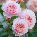 Роза английская Шропшир Лэд
