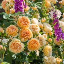 Роза английская Крон Принцесс Маргарет