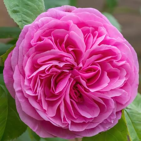 Роза английская Гертруда Джекил