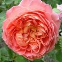 Роза английская Джубили Селебрейшн