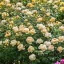 Роза английская Джуд зе Обскур
