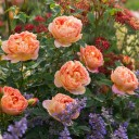 Роза английская Леди Шалотт