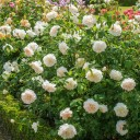 Роза английская Личфилд Энджел