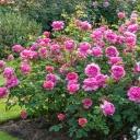 Роза английская Принцесса Александра Кентская