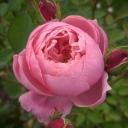 Роза английская Алнвик Роуз