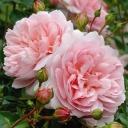 Роза английская Вайлдив