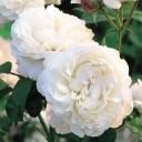 Роза английская Винчестер Кафедрал