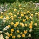 Роза английская Грехам Томас