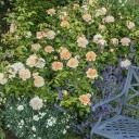 Роза английская Леди Гарднер