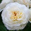 Роза флорибунда Леди Романтика