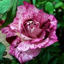 Роза флорибунда Пурпурный Тигр