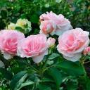 Роза флорибунда Розето Карла Финески