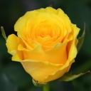Роза флорибунда Сфинкс Голд