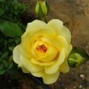 Роза флорибунда Санлайт романтика