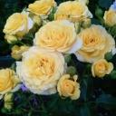 Роза миниатюрная Макарена
