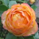 Роза миниатюрная Бэби Романтика