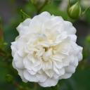 Роза миниатюрная Грин Айс