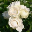 Роза миниатюрная Уайт Морсдаг