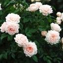 Роза миниатюрная Спешл Френд