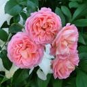 Роза плетистая Пируэт