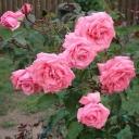Роза плетистая Рамира