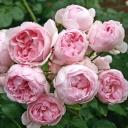 Роза шраб Синдерелла