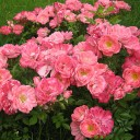 Роза шраб Ферди