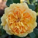 Роза шраб Сан Иде Жардин