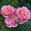 Роза шраб Анн Софи Пик