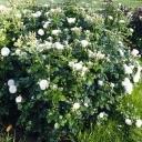 Роза шраб Артемис