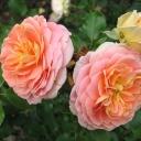 Роза шраб Концерто 94