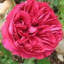Роза шраб Эрик Таберли