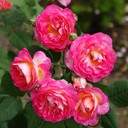 Роза шраб Мадам де Сталь