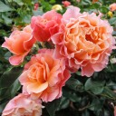 Роза шраб Мари Кюри