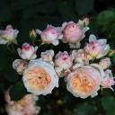 Роза шраб Шарль де Нерво