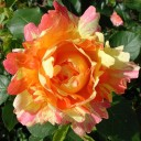 Роза шраб Роз де Цистерсьен