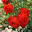 Роза шраб Кордес Бриллиант