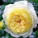 Роза шраб Нельсон Монфор
