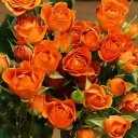 Роза спрей Бейб
