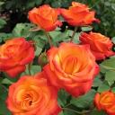 Роза спрей Мамба