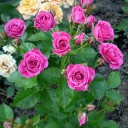 Роза спрей Oрион