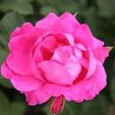 Роза Мелроуз на штамбе