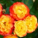 Роза штамбовая флорибунда Румба