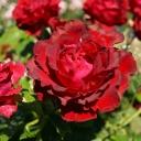 Роза штамбовая чайно-гибридная Омаж а Барбара